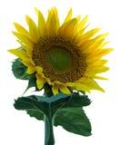 изолированный солнцецвет стоковые изображения