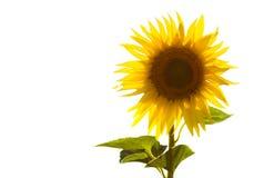 изолированный солнцецвет стоковое изображение