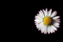 изолированный стоцвет предпосылки черный Стоковая Фотография