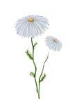 изолированный стоцвет Стоковая Фотография