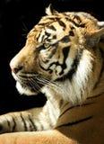 изолированный тигр стоковое фото