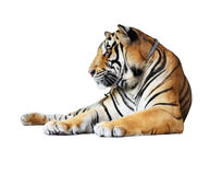 Изолированный тигр Стоковое фото RF