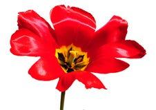 изолированный тюльпан Стоковые Фотографии RF