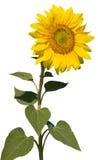 изолированный уточненный солнцецвет Стоковые Изображения
