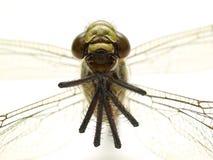 изолированный фронт dragonfly Стоковые Фотографии RF