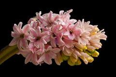 Изолированный цветок гиацинта розовый стоковая фотография