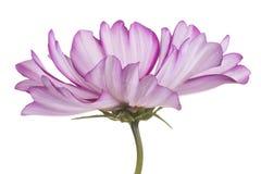 изолированный цветок космоса Стоковая Фотография RF
