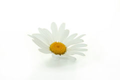 изолированный цветок маргаритки Стоковые Изображения RF