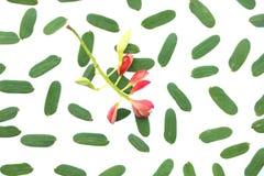 Изолированный цветок тамаринда на зеленых лист тамаринда на белой предпосылке Стоковое Изображение RF