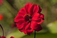 изолированный цветок Стоковая Фотография