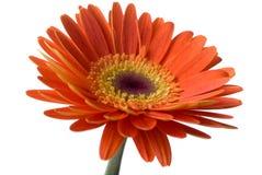 изолированный цветок Стоковое фото RF