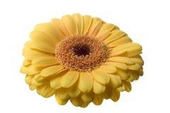 изолированный цветок Стоковое Изображение