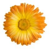 Изолированный цветок Calendula стоковое фото rf
