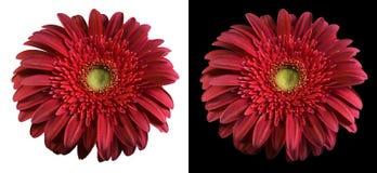 изолированный цветок clippingpath burgundy стоковые изображения rf