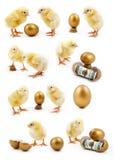 изолированный цыпленок Стоковые Фото