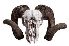 Изолированный череп штосселя Стоковое Изображение RF