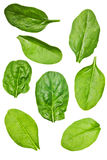 изолированный шпинат листьев Стоковая Фотография