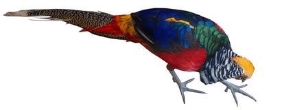 Изолированный яркий multiicolored фазан птицы леса золотой Стоковые Фото
