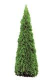 изолированный arborvitae thuja smaragd occidentalis Стоковое Изображение RF