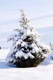 изолированный evergreen вал снежка стоковые изображения rf