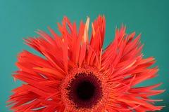 изолированный gerbera Стоковое Фото