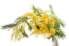 изолированный mimosa Стоковые Изображения RF
