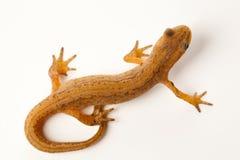 изолированный newt стоковые фотографии rf