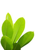 изолированный plumeria листьев Стоковые Фотографии RF