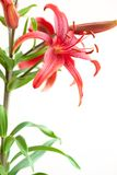 изолированный stargazer лилии Стоковое Фото