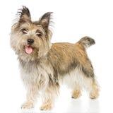 изолированный terrier Стоковые Фото