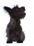 изолированный terrier skye щенка Стоковые Фотографии RF