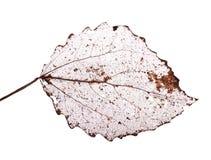 Изолировано на белых мертвых листьях Стоковые Изображения RF