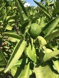 Изолят апельсина мандарина Стоковое Фото