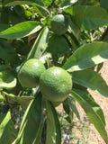 Изолят апельсина мандарина Стоковые Фото