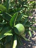 Изолят апельсина мандарина Стоковая Фотография