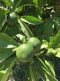 Изолят апельсина мандарина Стоковые Изображения RF