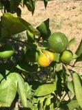 Изолят апельсина мандарина Стоковые Фотографии RF