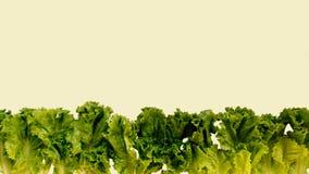 Изолят салата на белой предпосылке стоковые изображения