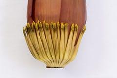 Изолят цветения банана на белой предпосылке Стоковые Фотографии RF