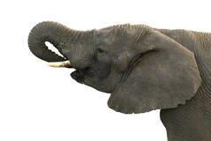изоляция слона Стоковые Фото