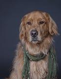 Изощренная собака Стоковая Фотография