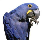 Изолированная ара гиацинта Стоковые Изображения