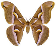 Изолированная бабочка silkmoth ailanthus Стоковое фото RF