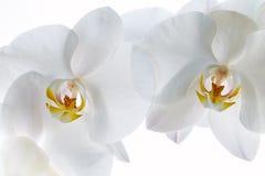 изолированная белизна орхидеи Стоковое фото RF