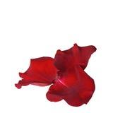 изолированная белизна розы лепестков Стоковые Изображения RF