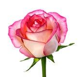 изолированная белизна розы Стоковое Изображение