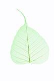 Изолированная вена лист Стоковые Фото