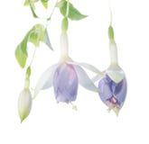 Изолированная ветвь необыкновенной, нежной расцветки fuchsia Стоковое Изображение RF