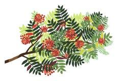 Изолированная ветвь рябины с ягодами Стоковые Фото