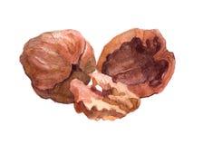 Изолированная гайка еды грецкого ореха акварели Стоковая Фотография RF